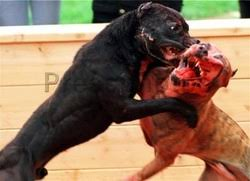 pitbull terrier fight. Interesting Pitbull With Pitbull Terrier Fight R