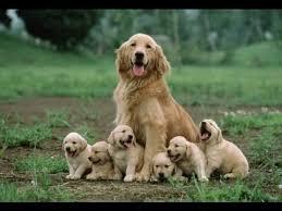 golden retriever newborn puppies. Brilliant Retriever Golden Retriever Puppies Newborn 1 Old Throughout E