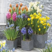 diffe planted bulbs in pots