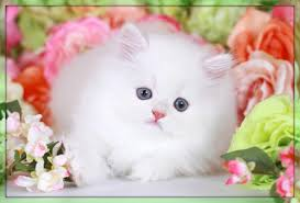 cute white fluffy kittens for sale. Plain White Cashmere White Persian Kitten On Cute Fluffy Kittens For Sale