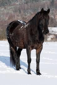 black horses in snow. Beautiful Horses In Black Horses Snow