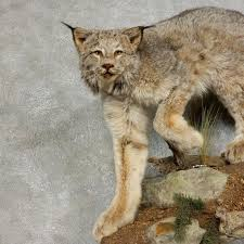 lynx size alaskan lynx life size mount for sale 17848 the taxidermy store