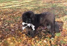 boatswain dog. newfoundland dog image: caramor\u0027s boatswain · a