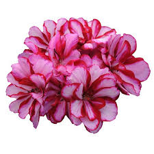 Image result for precision pink ivy geranium