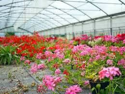 want to grown geraniums in containers