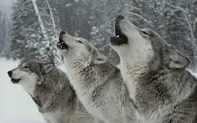 we learn more about our age by listening to the wolves aeon essays