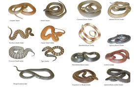 Snakes In Australia Everything You Need To Know