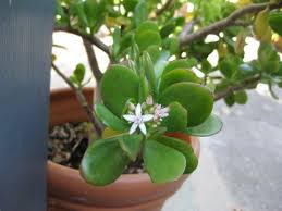 plants feng shui home layout plants. Feng Shui Money Tree Plant Lifestyle Plants Home Layout