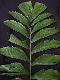 socratea exorrhiza palmpedia palm