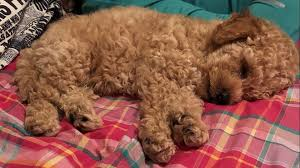 help find watson miniature poodle puppy stolen from channelview home khou