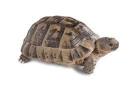 Greek Tortoise Care Sheet