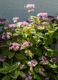 Types Of Hydrangeas Compare 6 Popular Hydrangea Species