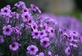 Violet Flower Wallpapers - Top Free ...