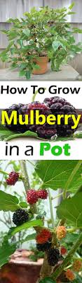 Best 25 Mulberry Bush Ideas On Pinterest  Plum Hair Dye Plum Mulberry Tree No Fruit