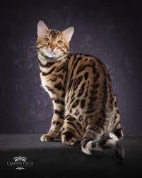 white bengal cat. Brilliant Cat New Jersey Bengal Cat  Breeders NJ Kitten U0026 Cats In White W
