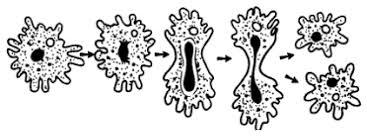 Подцарство одноклеточные или простейшие Деление амебы