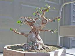 the art of bonsai trees can be a very rewarding experience and a thick trunk bought bonsai tree