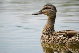 10 Canadian Duck Species Other Than Mallards You Should Set