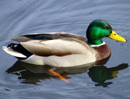 Image result for a picture of a duck