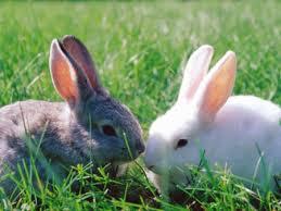 Resultado de imagem para imagens de coelho