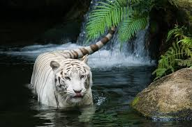 baby white tigers in water. Exellent Tigers Finding The White Tiger Within And Baby Tigers In Water I