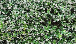 How To Add Charm To Your Garden  StuffconzWall Climbing Plants Nz