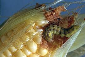 Corn Earworm Control Controlling Corn Earworm In Sweet Corn Grower