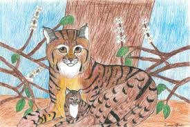 "local sixth grade bobcat admirer d mercer county winner of  bobcat and kit lana glisic s ""bobcat"" will be on display other award"