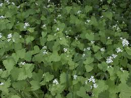 dcf 1 0 if you see this plant with small white flowers