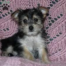 jim 795 00 selinsgrove pa morkie yorktese puppy