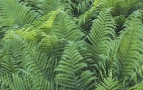 types of ferns. fertilizing outdoor ferns \u2013 types of garden fern fertilizer
