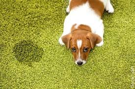 carpet cleaning animal urine no matter how subservient your dog to remove smell from wool