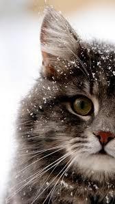 cat wallpaper iphone 5. Wonderful Cat Snow Cat Wallpaper To Iphone 5 C