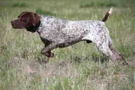 it is a versatile sporting breed of dog that can hunt most forms of games and it retrieves from the water and on the land it s a loving panion