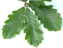 Oak Tree Comparison Chart How To Identify Different Oak Trees