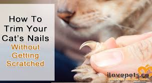 how to trim your cat s nails without getting scratched