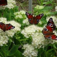 Afbeeldingsresultaat voor vlinders sedum