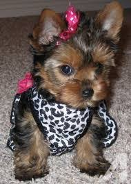 teacup yorkie puppies for adoption. Beautiful Teacup Teacup Chihuahua For Sale In Raleigh North Carolina Classifieds U0026 Buy And  Sell  Americanlistedcom Throughout Teacup Yorkie Puppies For Adoption