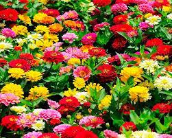 zinnia types of summer flowers
