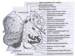 Реферат Физиология двигательных функций на уровне ствола мозга  Физиология двигательных функций на уровне ствола мозга