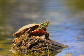 How To Identify Ontarios 8 Species Of Turtles Cottage Life
