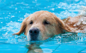 golden retriever puppies swimming. Fine Retriever Daily Cute Retriever Puppies Learn To Swim Like Their Dad Throughout Golden Swimming