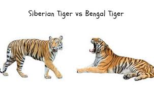 siberian tiger vs bengal tiger.  Siberian Siberian Tiger Vs Bengal Habitat On Vs