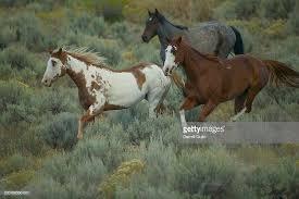 paint horses running in a field. Exellent Paint Paint And American Quarter Horses Equus Caballus Running On Field  Stock  Photo With Running In A Field U