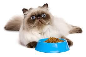 nourriture d un chaton persan