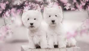 bichon frise small dogs good for kids