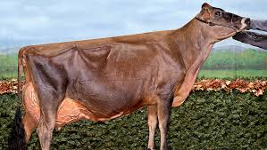 Jersey cow earns EX-96 classification