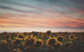 Laptop Sunflower Tumblr Wallpapers ...