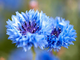 blue colour flowers pictures types of blue flowers image