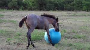 baby horses playing. Fine Baby Baby Horse Playing With Ball On Baby Horses Playing S